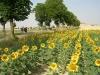 El camino de santiago - lanuri-de-floarea-soarelui