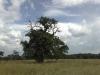 stejari-multiseculari-platoul-breite1