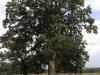 stejari-multiseculari-platoul-breite2