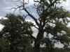 Stejari multiseculari Platoul Breite