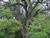 Stejar multisecular Padurea Letea - 500 ani
