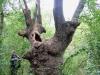 Stejar multisecular Padurea Letea - 700 ani