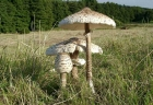Ciuperci comestibile | Pălăria şarpelui | Burete şerpesc