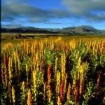 Plantatie de quinoa