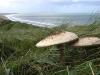 Ciuperci comestibile | Palaria Sarpelui | Burete Serpesc