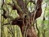 Stejari multiseculari Padurea Mociar Romania