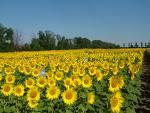 Cura de detoxifiere cu ulei de floarea soarelui