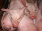 Consecinţele ecologice ale consumului de carne
