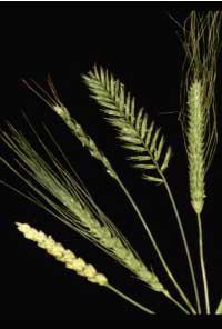 Regimul Oshawa 7 | Dieta Retete Cereale Oshawa